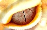 Bell Albino Auge