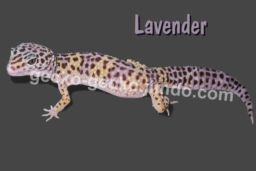 Lavender adult