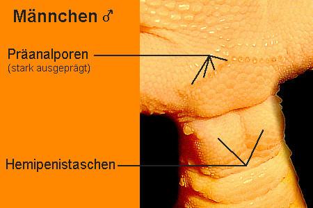 """Geschlecht """"Eublepharis macularius"""" male"""
