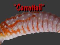 Carrottail