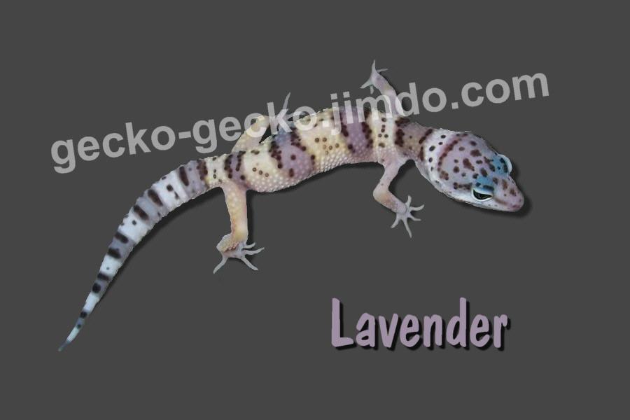Lavender juvenil