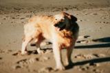Marple in ihrem Element Strand + Meer - hier beim Urlaub in Dänemark