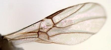 上の個体の前翅拡大写真(特徴的な翅脈)