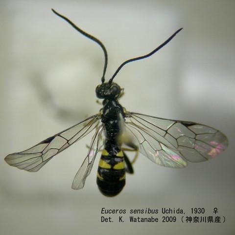 キモンフトマルヒメバチ Euceros sensibus Uchida, 1930 ♀