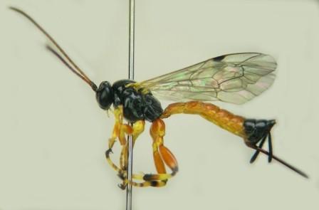 針を刺す場合の一例(アオムシヒラタヒメバチ)