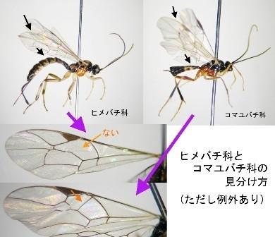 ヒメバチ科とコマユバチ科の簡単な見分け方(大半のグループで識別できる).