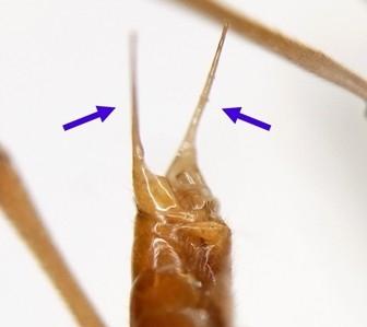 Mesochorus fulgurans Curtis, 1833 トワダフタオヒメバチ ♂の腹端 (矢印は把握器の突出部を示す)