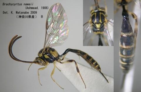 ナワニジヒメバチ Brachycyrtus nawaii (Ashmead, 1906)