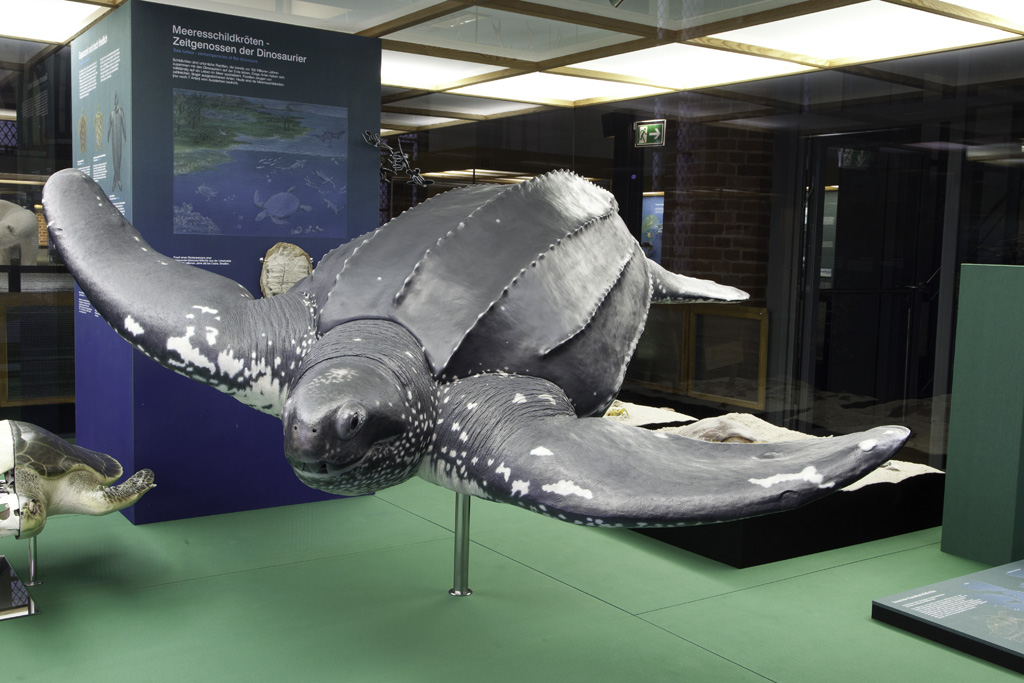 Lederschildkröte (Foto: Johannes-Maria Schlorke / Deutsches Meeresmuseum)