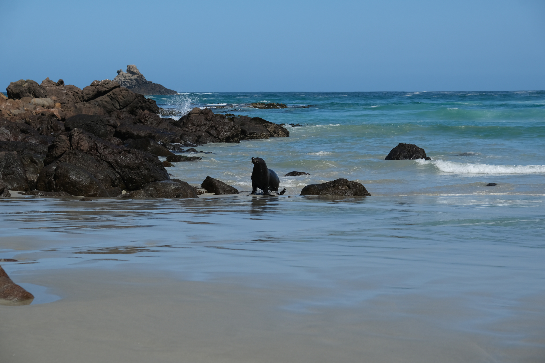 Seals on Sandfly Beach