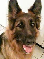 Anima-Balance: Hund «Falco», Dt. Schäferhund, ca. *2008