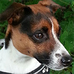 Anima-Balance: Hund «Sparco», Jack Russel, *2010