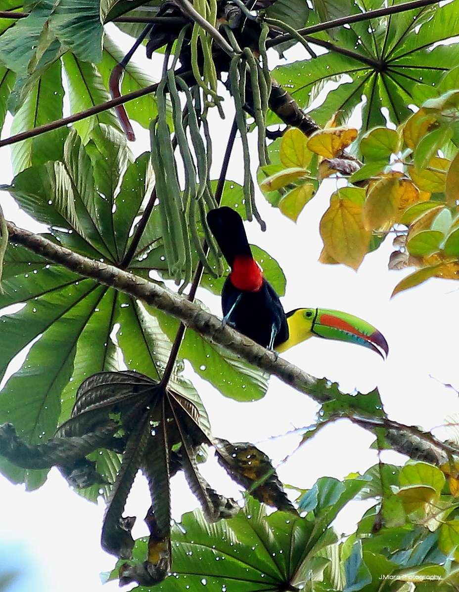 Toucan à Carene, TURRIALBA