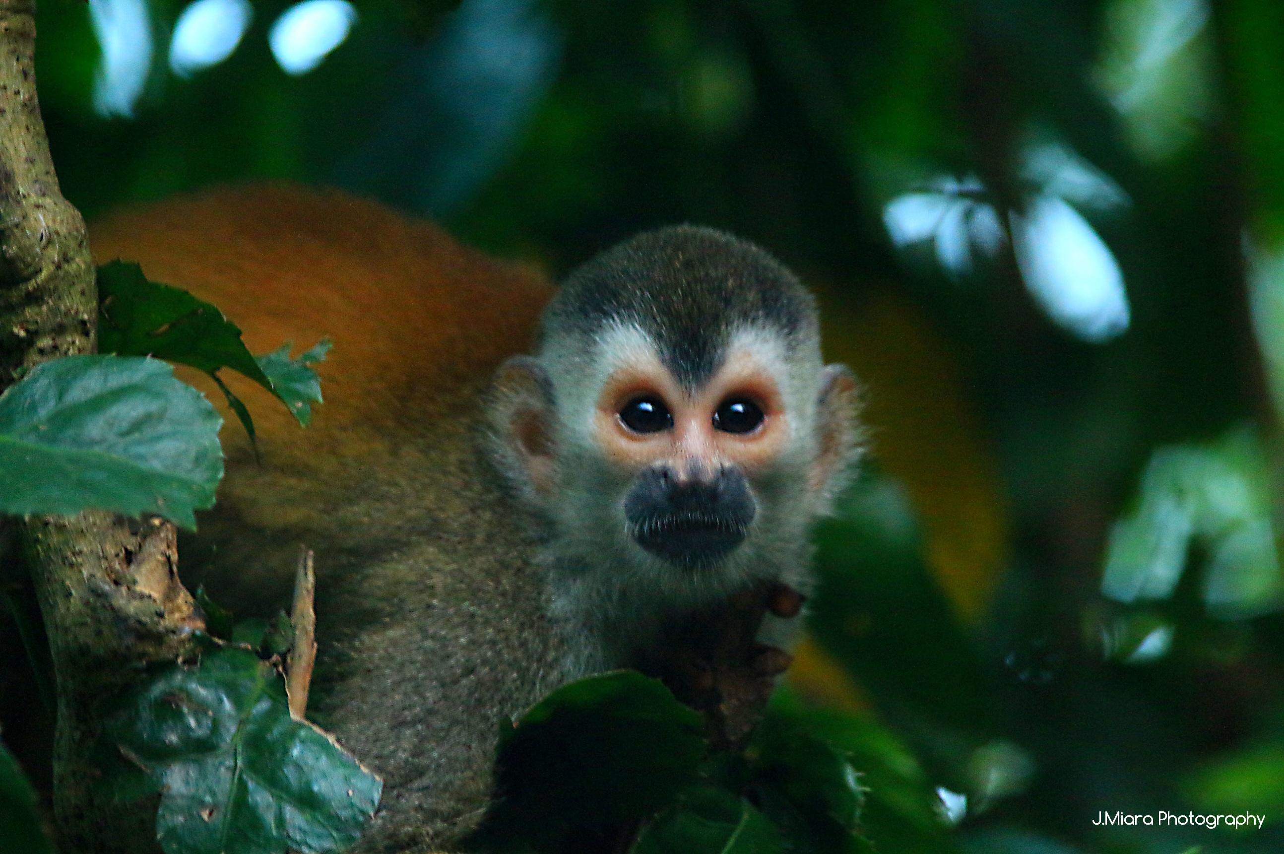Monkeys, Manuel Antonio, COSTA RICA. missaventure blog