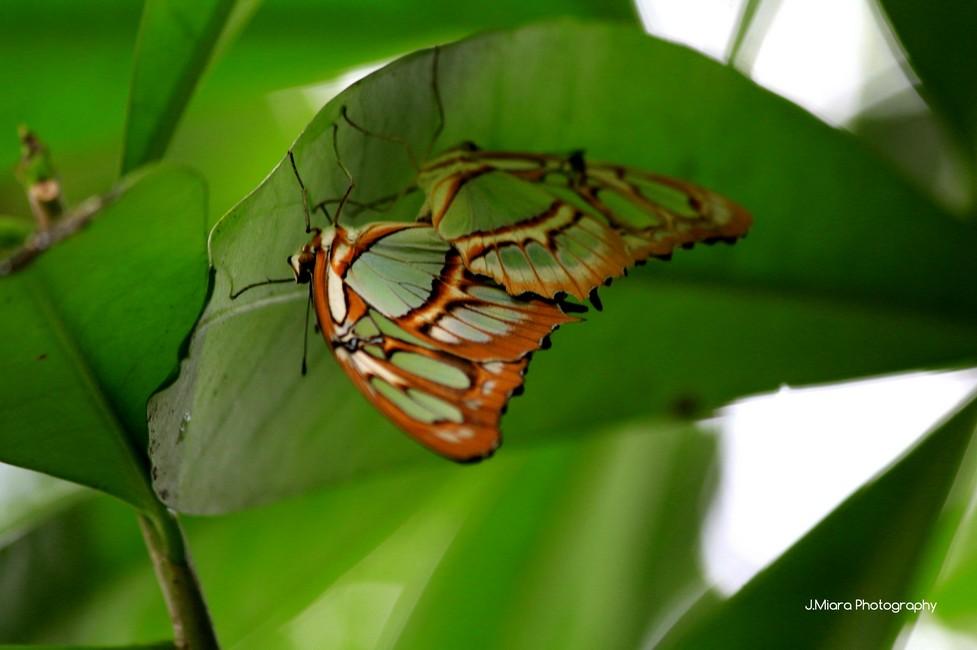 papillons, TORTUGUERO