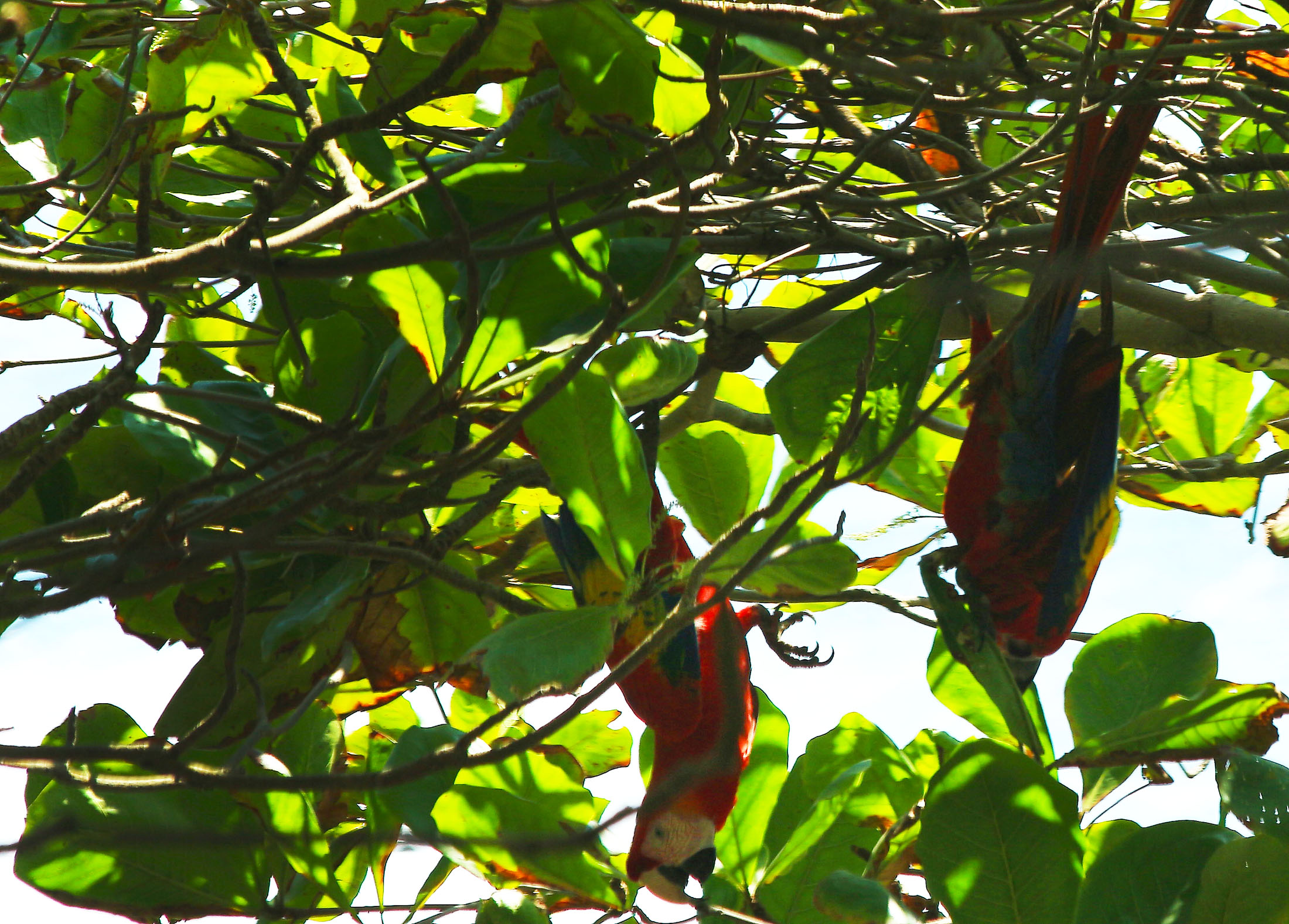 Aras, Manuel Antonio, COSTA RICA. missaventure blog