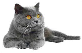 immaggine gatto maschio British shorthair blu