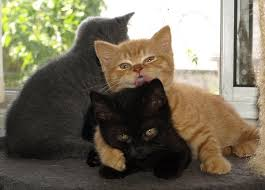 immagine cuccioli di gatto british shorthair