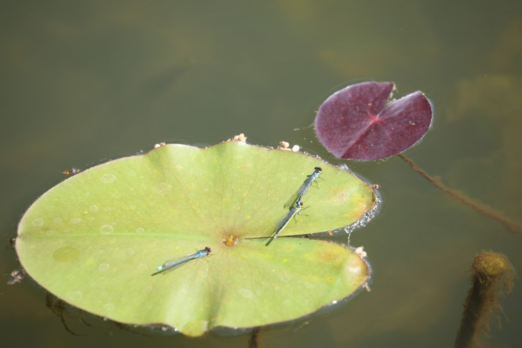 Drei Adonislibellen (Pyrrhosoma nymphula) auf einem Seerosenblatt genießen die warmen Sonnenstrahlen