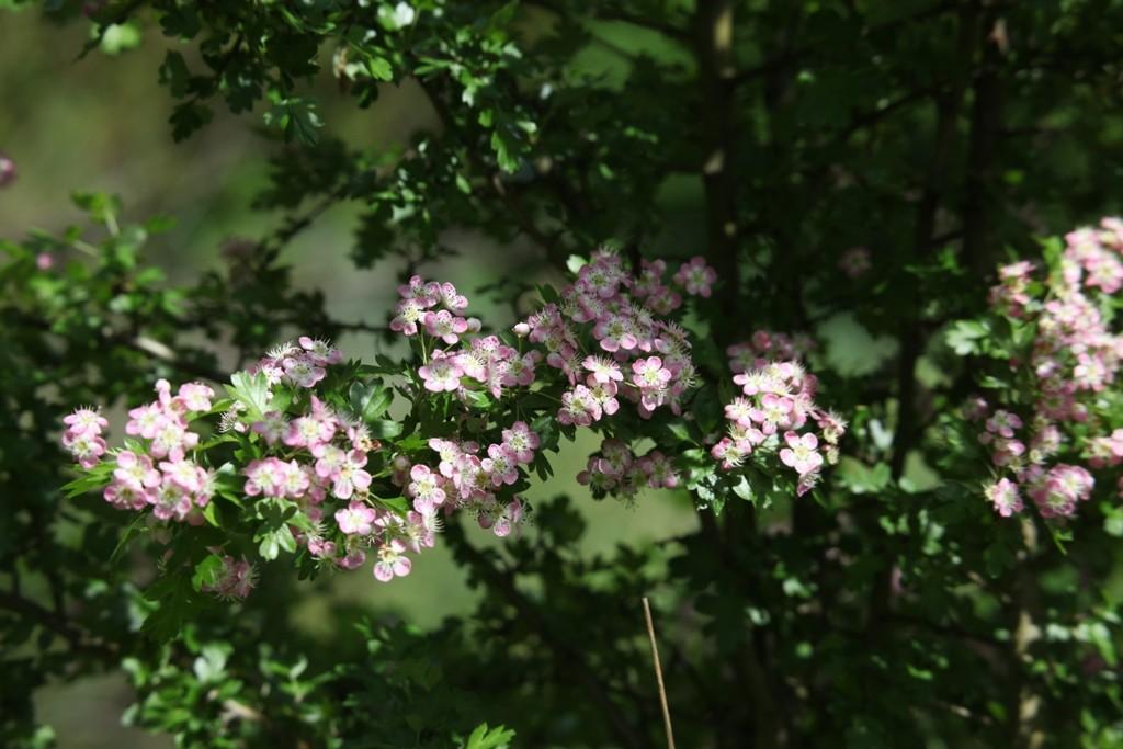 Die blühende Bergkirsche (Prunus subhirtella)