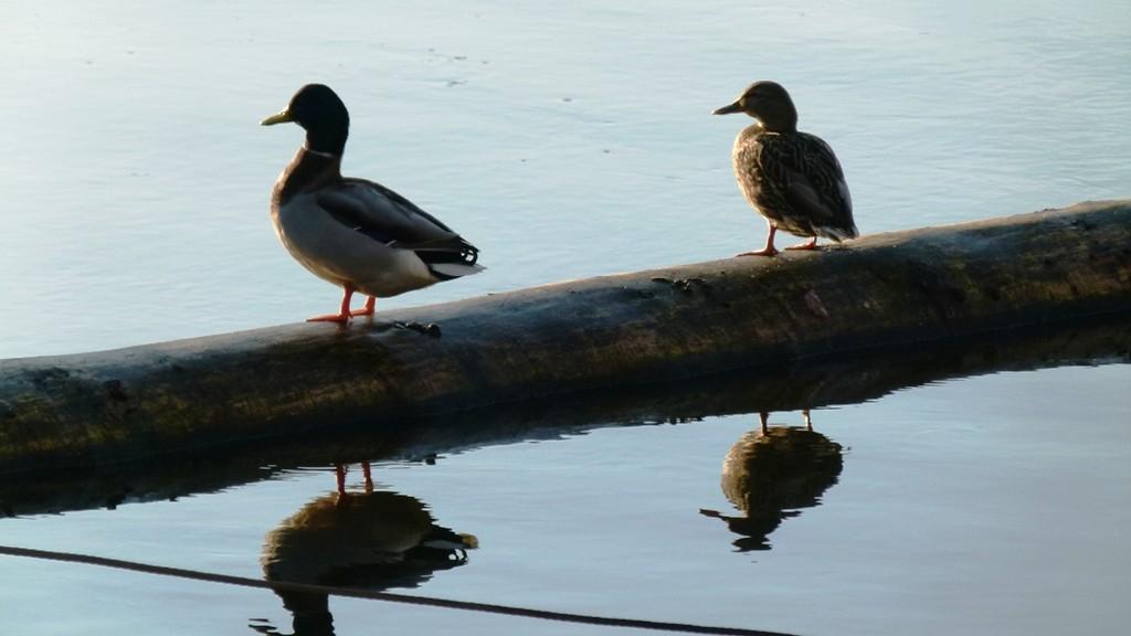Enten an der Elbe nehme ebenfalls die letzten wärmenden Sonnenstrahlen mit.