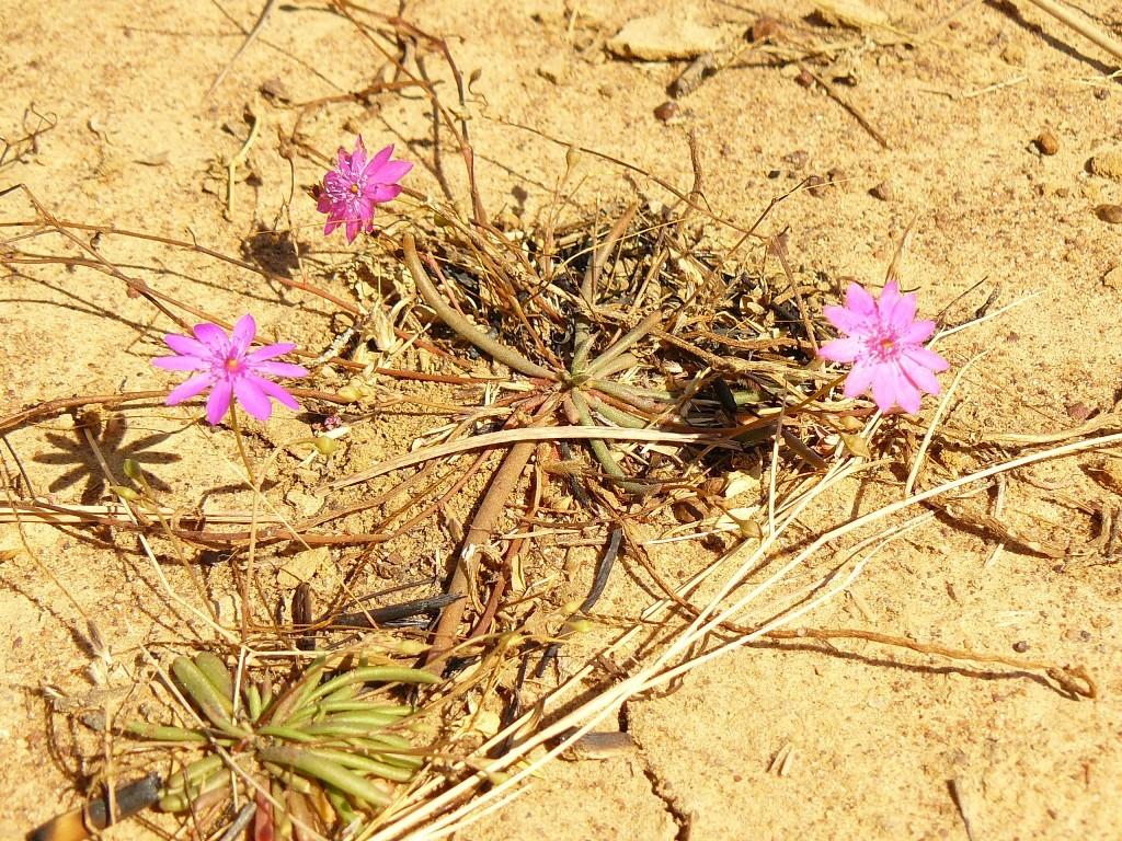"""In Mitten dieser verbrannten, verkohlten Landschaft bahnt sich aber bereits wieder neues """"Pflanzenleben"""" seinen Weg. Hier eine Gattung der Regenbogenpflanze."""