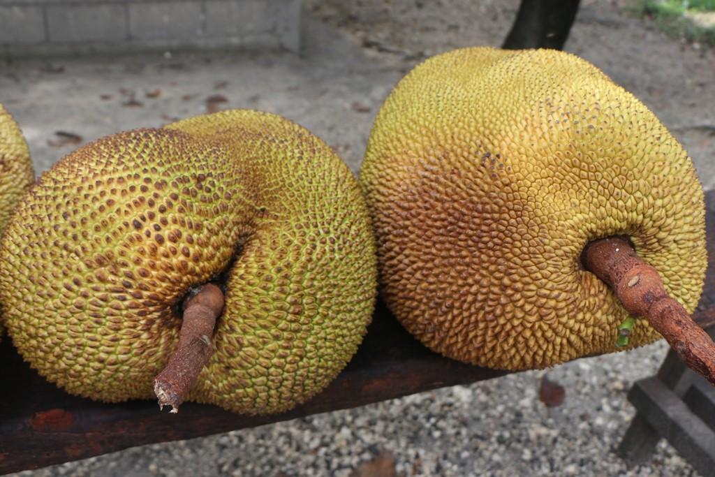 Jackfruit, ein Maulbeergewächs aus der Nähe betrachtet