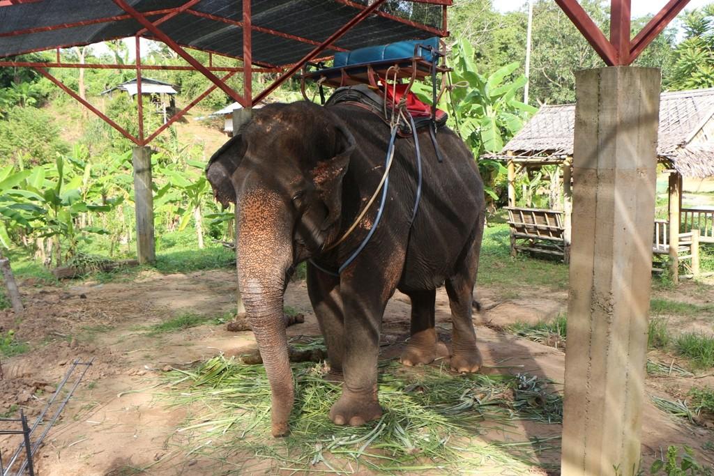 Elefanten Trekking unweit von Rawai auf der Wegstrecke nach Kata Beach!