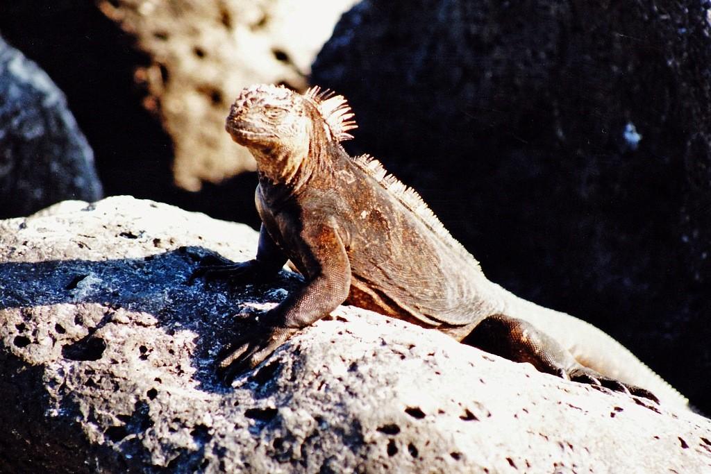 Eine Meeresechse. Da nur auf den Galapagos-Inseln gewisse Tiere und Pflanze zu finden sind, erklärte die UNESCO die Inselgruppe zum Weltkulturerbe.