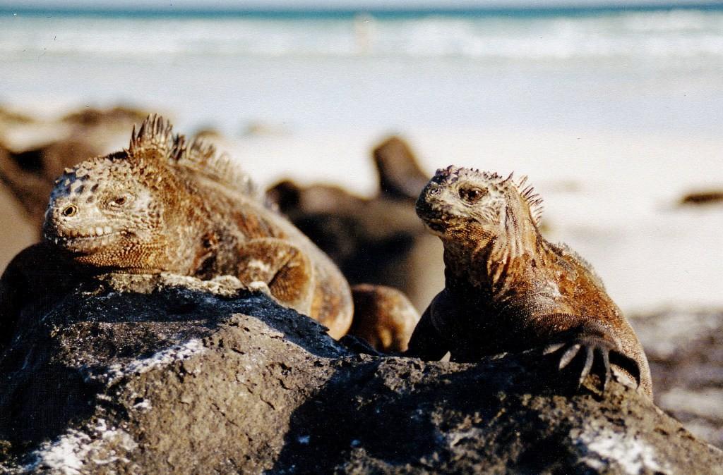 Meerechsen sind überall auf den Galapagos-Inseln. Obwohl die Leguane auf jeder Insel ein wenig anders aussehen und unterschiedlich groß sind, gehören sie alle zur gleichen Art von Leguan