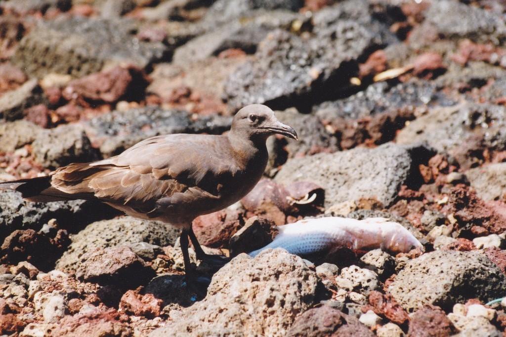 Eine Lavamöwe, Lava gull (Larus fuliginosus), Santa Cruz auf Island bei der Mahlzeit