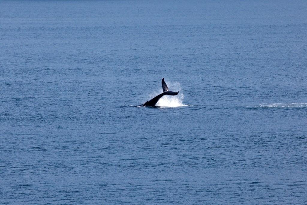 Dieser Schwertwal traut sich recht nah an die Fähre und zeigt uns was er drauf hat!