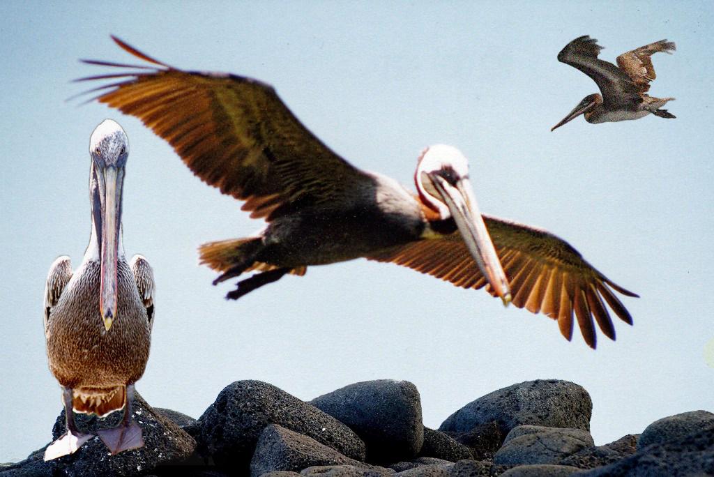 Der Braune Pelikan, auch Galapagos Pelikan in majestätischer Pose