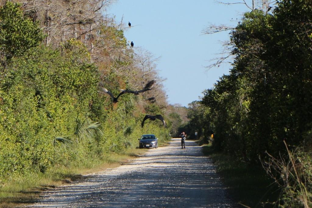 Rabengeier im Anflug, sie sind die Gesundheitpolizei (Aas- und Abfallfresser) der Everglades bzw. des Big Cypress NP