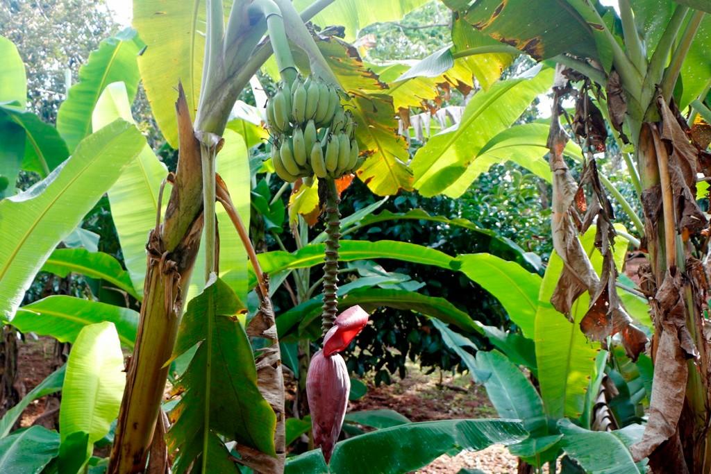 So übrigens sieht der Fruchtstand einer Banane aus!