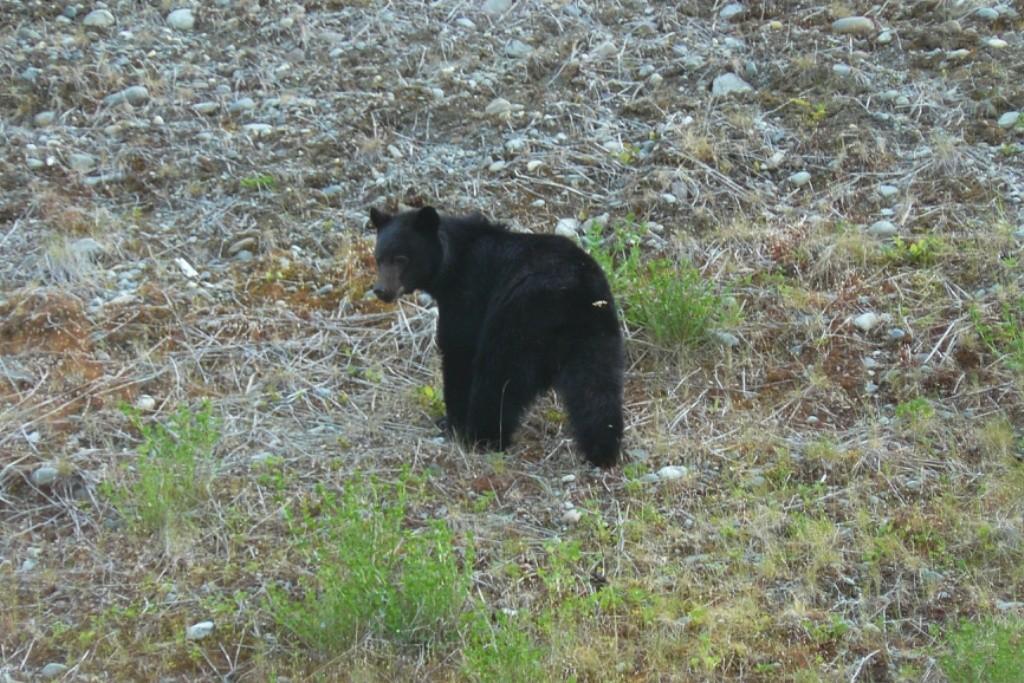 Unsere erte Begegnung mit einem Schwarzbär (Grizzly) auf der Fahrt Richtung Gold River Village