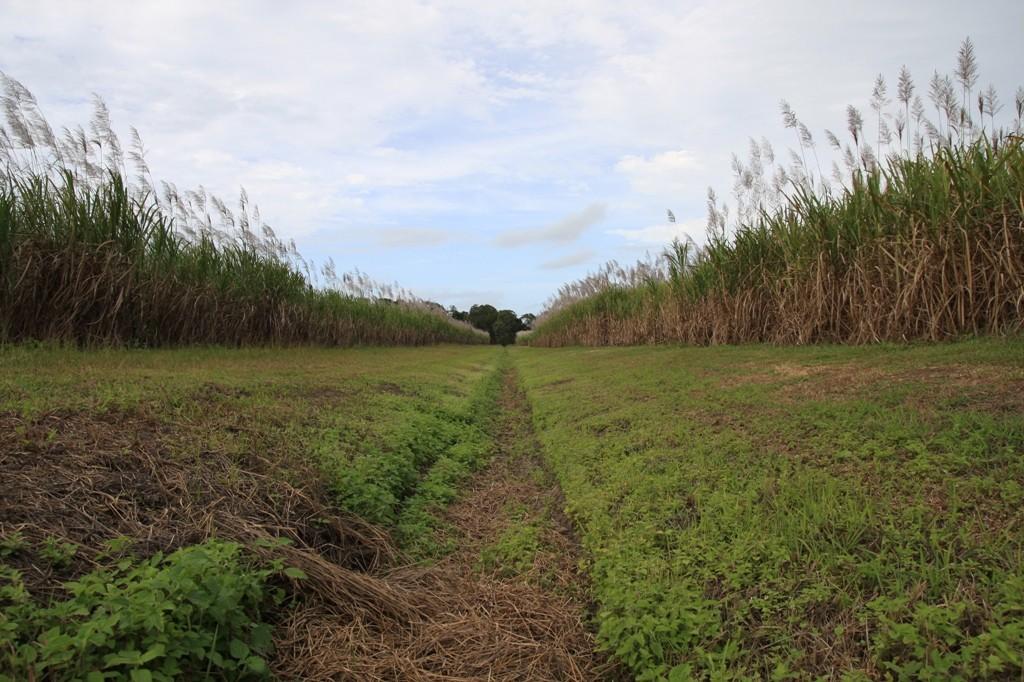 Zuckerrohrplantagen, so weit das Auge reicht!