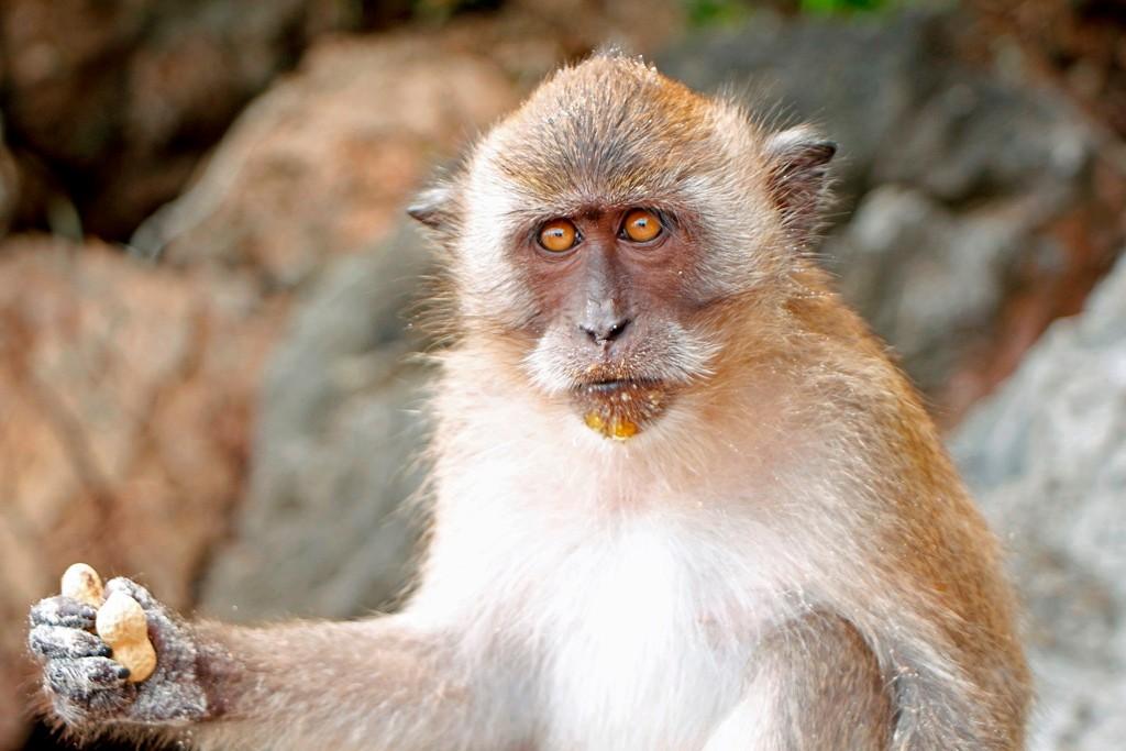 Ein Makake aus der Familie der Meerkatzen posiert mit mir, zuvor aber gab es ein gekauftes Leckerli!