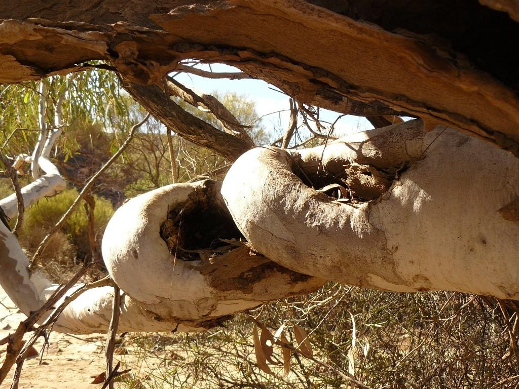 Seltener Baumverwachsungen sind das fotografische Objekt der Begierde