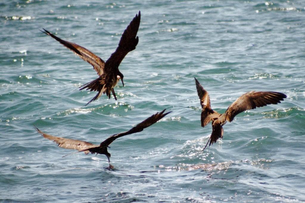 Fregattvögel auf gemeinsamer Jagd