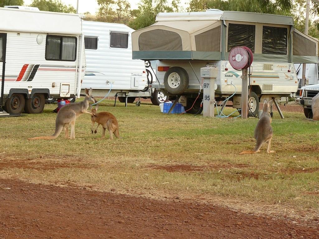 Im Campground von Tom Price halten sich die recht aufdringlichen Wallabi´s bei den Campern schadlos und betteln!