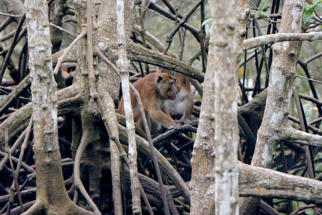 Tief im Mangrovengehölz der Rest der Makakensippe!