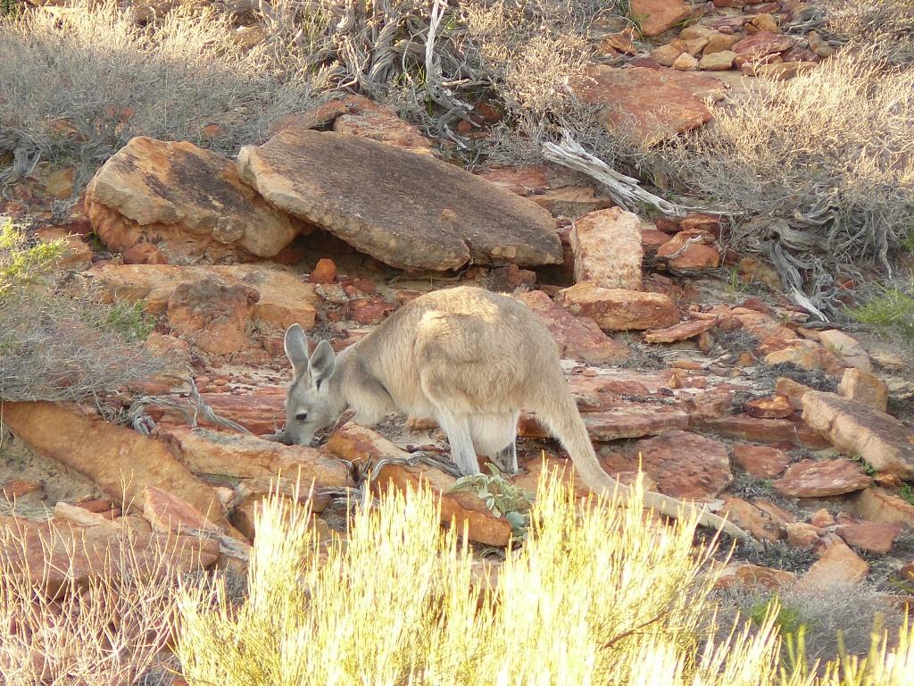 Siehe da, ein Bergkänguru hat sich für uns postiert