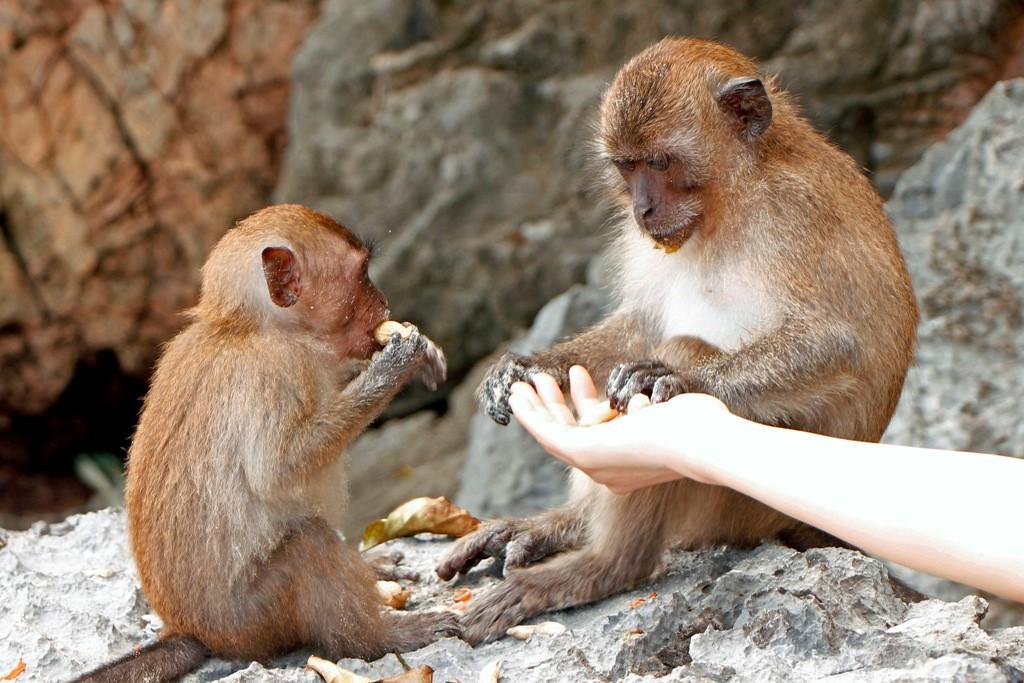 """""""Raubkatzenfütterung"""" - nein, ein Makake mit Jungtier beim Knacken von Erdnüssen."""
