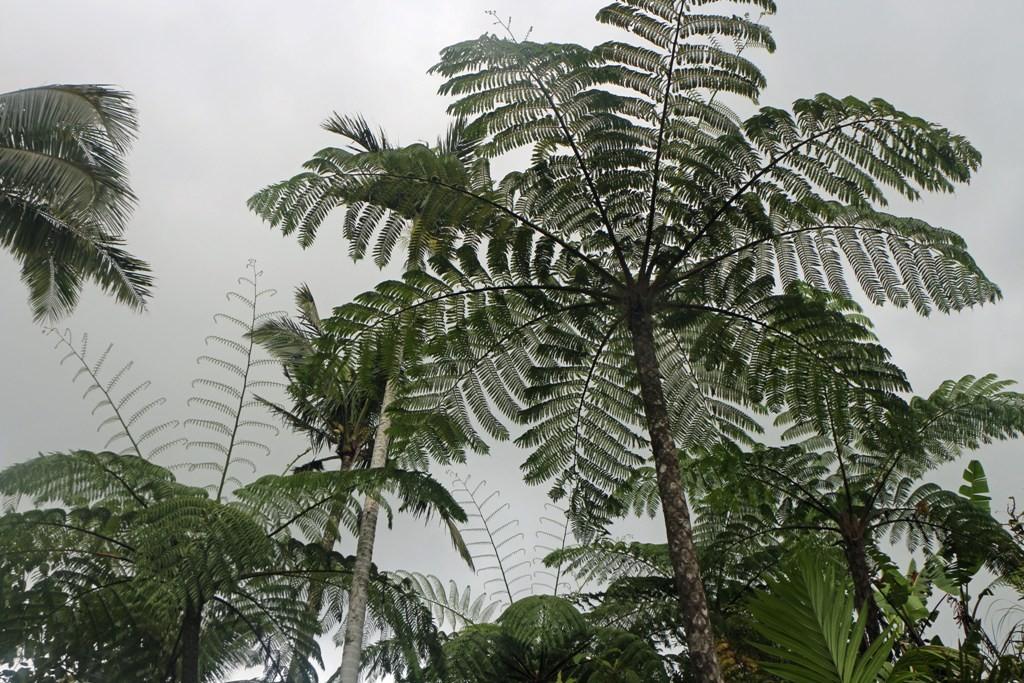 Das sind keine Palmen, es sind Baumfarne, nicht für die gute Stube!