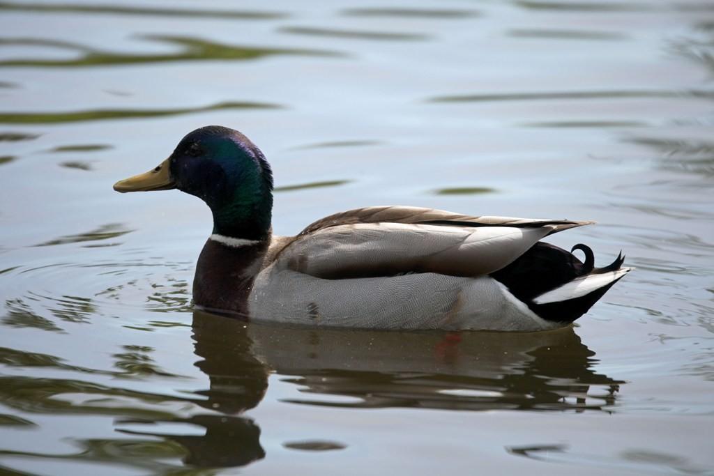 Die Stockente ist nicht nur die bekannteste Ente, sondern sie ist auch die größte einheimische Schwimmente