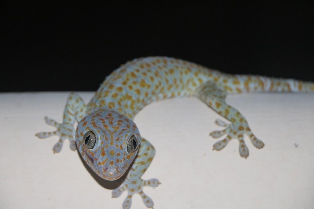 Oft fotografiert, hier nun endlich sein Konterfei, der nachtaktive Gecko schaut zu!