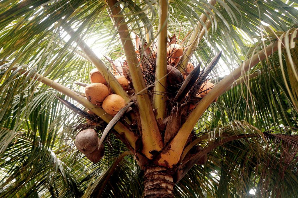 Die Morgensonne scheint auf die Kokosnüsse
