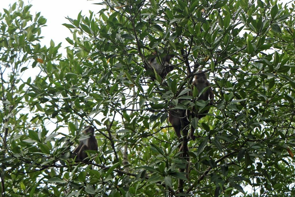 ...und wenige Minuten später sitzen die Makaken auf den Bäumen, nicht lange, wie man beim nächsten Bild sieht!
