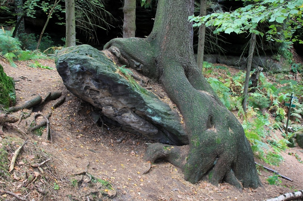Der Felsbrocken im Würgegriff der Baumwurzeln